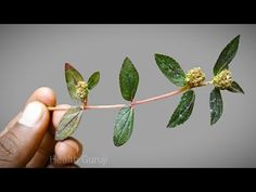 Natural Health Tips, Good Health Tips, Health And Beauty Tips, Ayurvedic Plants, Ayurvedic Remedies, Home Health Remedies, Natural Health Remedies, Herbs For Health, Spiritual Health