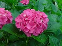 There are 5 main types of hydrangeas that you will find in North America. The resource online for Hydrangeas. Colorful Shrubs, Macrophylla, Pink Hydrangea, Plants, Hydrangea Varieties, Flowering Vines, Types Of Hydrangeas, Identify Plant, Flowers