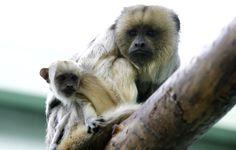 mz-20 Milwaukee Zoo, Dark Wood, Mantle, Monkey, Photo Galleries, Facts, Activities, Gallery, Baby