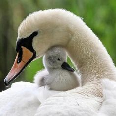 Swan With Her Young Cygnet.