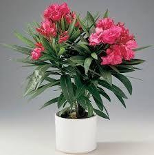 oleander - Szukaj w Google