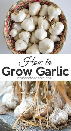 Fresh garlic is a kitchen staple! Did you know that garlic is one of the easiest plants to grow in a garden? A single clove of garlic will produce a beautiful head of garlic. Growing garlic should be one of the first plants every new gardener should tries because it is easy and produces a generous harvest. Veg Garden, Edible Garden, Lawn And Garden, Vegetable Gardening, Garden Plants, Garden Art, Growing Herbs, Growing Vegetables, Fruits And Vegetables