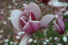 follow this link to find list and sale of 15 magnolia varieties