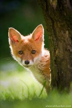 ~~Hiding Fox by Alannah-Hawker~~