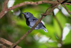 Choquinha-de-rabo-cintado (Myrmotherula urosticta)