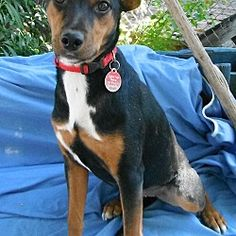 Hagerstown, Maryland - Manchester Terrier. Meet Peyton in TEXAS, a for adoption. https://www.adoptapet.com/pet/20043294-hagerstown-maryland-manchester-terrier-mix