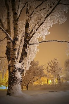 Snow covered birch | Monica Garret via Dreamstime