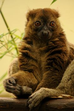 Greater Bamboo Lemur | Greater bamboo lemurBelieved to have been extinct until 1972. Critically endangered due to human expansion and habitat loss. Feeds primarily on bamboo. Population is estimated to be around 1,000. Would be difficult to relocate due to its diet of bamboo. Baby Exotic Animals, Exotic Pets, Animals And Pets, Baby Animals, Cute Animals, Primates, Mammals, Flying Lemur, Cute Monkey