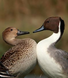 Northern pintails. Northern Europe, Asia and North America