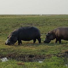 Hippos grasing at chobe river!  .  #nilpferd #hippos #chobe #choberiver #hippo #river #chobenationalpark #botswanawildlife #safari #earthofficial #africaninspired #animalfanatics #iloveanimals #awasome #fiftyshades_of_nature #cuteanimals #botswana #beautifulcreatures #mypictures #travelgram #intothewild #fotofanatics_nature_ #travelblogger #reiseblogger_de #collectmoments #ig_naturepictures #africa #wildlife #wildlifephotography