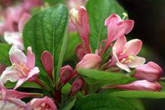 weigela japonica by M. Martin Vicente, via Flickr Flowering Bushes, Shrubs, Garden Ideas, Gardening, Flowers, Plants, Leaves, Flowering Shrubs, Lawn And Garden
