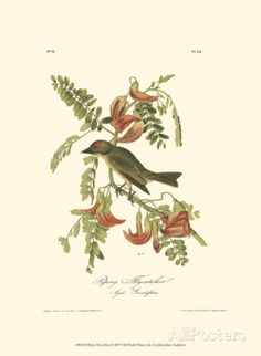 Pipiry Flycatcher Art by John James Audubon at AllPosters.com