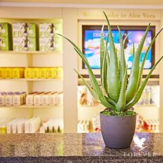Did you know that Forever Living Products is the largest MLM company devoted primarily to aloe based products? And we have more certified finished products than any other company! From plant to product to you, our Aloe Vera is the heart of what we do at Forever. #FOREVERPROUD #dubai #uae #middleeast #worldwideshipping #worldwide #175countries #aloevera #foreverproud #foreverliving #healthandwellness #mlm #networkmarketing #usa #