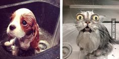 A dog getting a bath in a sink VS a cat getting a bath in a sink.