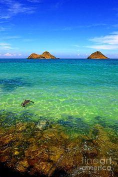 Lanikai Beach Sea Turtle, Oahu, Hawaii - Admired by www.visit-vallarta.com