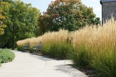 Height 4-5' Spread 2-3' Zone 4 One of the most versatile, attractive, and low maintenance ornamental grasses. Deep green foliage with loose, feathery flower spikes that turn golden yellow in summer. Tolerates a variety of conditions.