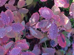Dew speckled tundra leaves