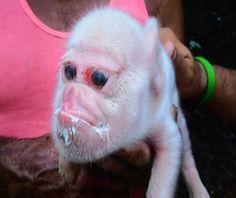 ¡Impactante! Cerdo con cara de mono se hace viral en las redes sociales (+Fotos) - http://www.notiexpresscolor.com/2017/09/04/impactante-cerdo-con-cara-de-mono-se-hace-viral-en-las-redes-sociales-fotos/