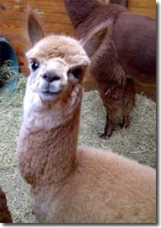 The True Dollars and Sense of Raising Alpacas