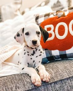 Blue Merle Great Dane, Animals And Pets, Cute Animals, Travel Design, Dog Quotes, Funny Design, Animal Photography, Animals Beautiful, Cute Dogs