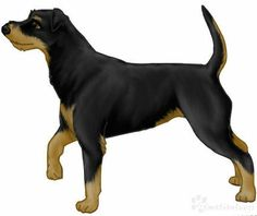 I bought and eight month old German Hunting Terrier three years ago. These dogs are much better referred to as Jagdterrier. His name is Prepared.