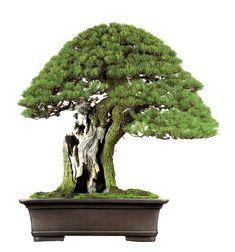 Masahiko Kimura Bonsai White Pine | Bonsai Story | Bonsai Bark