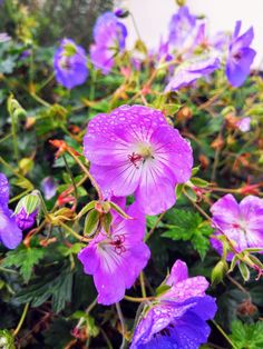 Flower Gardening For Beginners Plants that flower in October - Geranium Azure Rush - What is flowering in October? The days are getting shorter and the leaves are falling from the trees. Autumn, or Fall as my lovely American friends call it, is well… October Flowers, Fall Flowers, Pretty Flowers, Gardening For Beginners, Gardening Tips, Succulent Gardening, Flower Gardening, Succulent Containers, Container Flowers