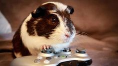 cute guinea pigs acting like humans - Google Search