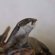 Otter is a very attentive listener - June 23, 2014