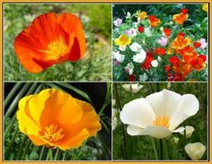 California Poppy Seed Mix for the Golden State.