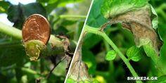 Όσοι δεν χρησιμοποιούν φυτοφάρμακα, εντομοκτόνα και μυκητοκτόνα σπρέι στα λαχανικά τους, ψάχνουν μια λύση που μπορεί να τους βοηθήσει για τις πιο σοβαρές ασθένειες των φυτών τους. Ο Χαλκός για τις μυκητολογικές ασθένειες Η απροθυμία μας να χρησιμοποιήσουμε τέτοια σκευάσματα μπορεί να μας κοστίσει ολόκληρη την καλλιέργεια. Τα κηπευτικά είναι πολύ ευαίσθητα σε μυκητολογικές ασθένειες … Garden Works, Garden Pests, Agriculture, Garden Design, Plant Leaves, Home And Garden, Nature, Flowers, Plants
