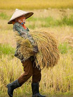 hDonKhong1ricegal1AAA | rice harvest on Don Khong island in … | Flickr