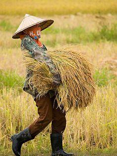 rice harvest, Don Khong Island, Laos
