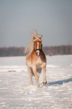 Haflinger 14 by Horse-Nation-Stock