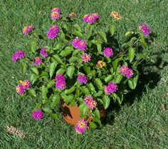 Lantana camara is an excellent option for planting containers to attract butterflies. It has brilliant blooms all season long and comes in a rainbow of colors.