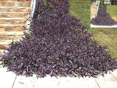 Purple wandering jew growing in full sun. It can be used as a ground cover for erosion control. The inset photo shows it growing all the way up the incline. (San Antonio, Tx.)