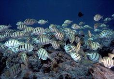 school of butterfly fish