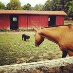 Border Collie vs. Horse