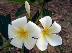 white plumeria or white frangipani