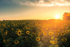 In order to bring some positivity those in need, Scott Thompson — a farmer in Kenosha County, Wisconsin — planted more than two million sunflowers in his fields.
