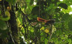 Burung kipasan ekor merah (Rhipidura phoenicura), burung ini merupakan burung endemik pulau jawa di nusantara indonesia. Foto ini didapatkan di Halimun Top of Salabintana. (Save Birds)