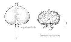 Scientific Botanical illustration 2006-2010 by Sven Bellanger, via Behanceb