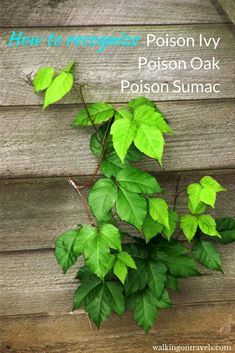 Recognizing Poison Ivy, Poison Oak and Poison Sumac before it is too late Poison Ivy Vine, Poison Ivy Leaves, Poison Oak, Poison Ivy Remedies, Going Off The Grid, Ivy Plants, Natural Homes, Camping Life