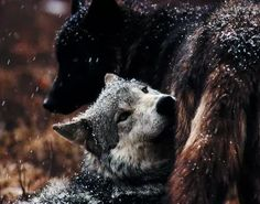 """thatkindofwoman: """" """"A man might befriend a wolf, even break a wolf, but no man could truly tame a wolf. Animals And Pets, Funny Animals, Cute Animals, Wolf Spirit, Spirit Animal, Wolf Pictures, Animal Pictures, Wolf Photos, Beautiful Creatures"""