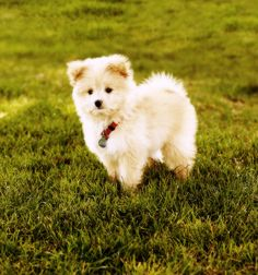 pomapoo...can you imagine lily and this dog running around and Ashlynn toddling around....I'd have the cutest house ever!
