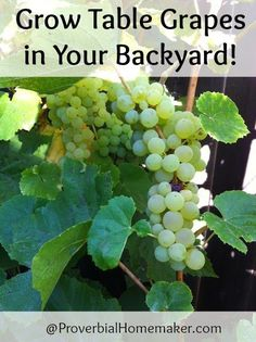 Tips on growing grapes in your yard.