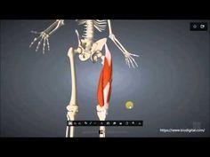M. quadriceps femoris - YouTube
