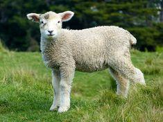 Lamb  | Image source: Pexels.com