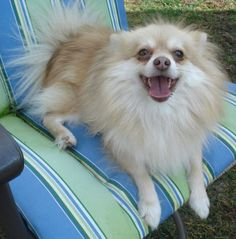 Spice is a purebred, 3 year old male Pomeranian. He's a very happy and playful little guy. He does great with other dogs. Rides good in the car. He's a snuggler and would make a great little family companion. If you would be interested in adopting...