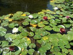 Water lilies at the New Clairvaux Abbey retreat center in Vina